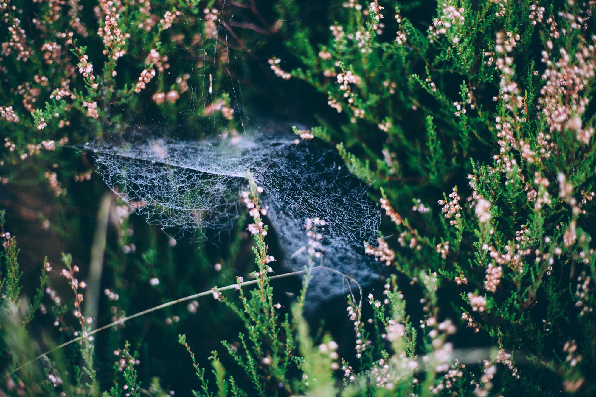 Spindelvävd ljung