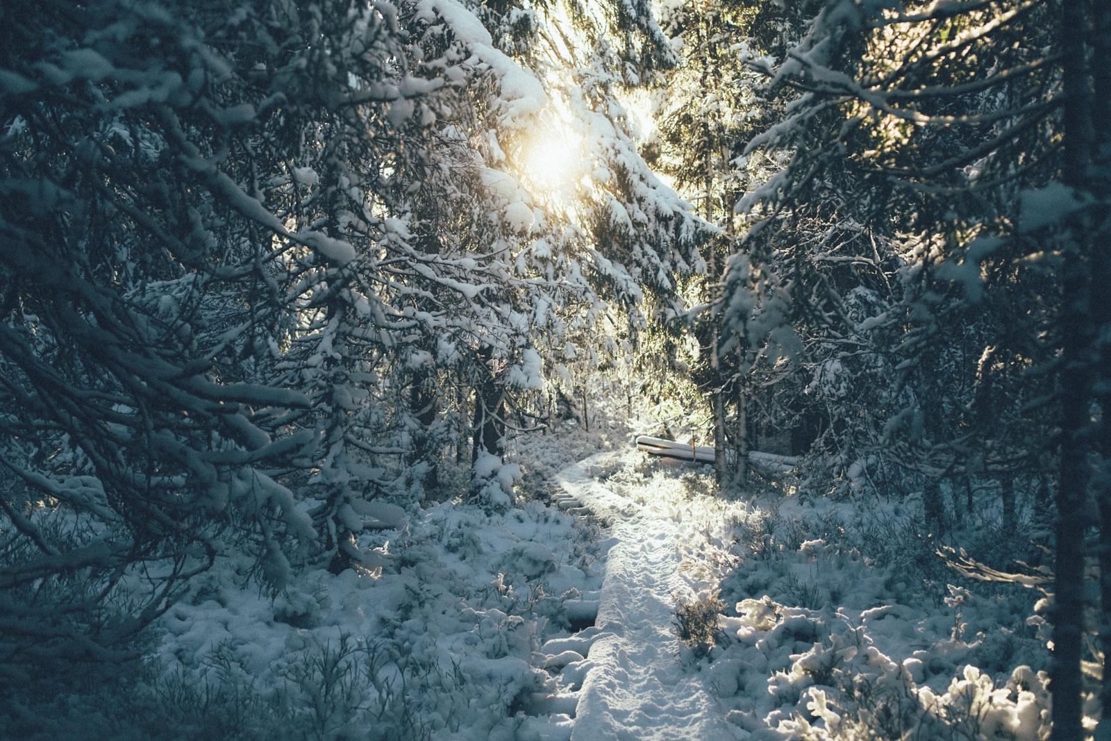 Sol mellan granar på Komosse