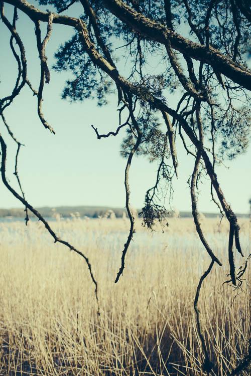 Trädet över vassen